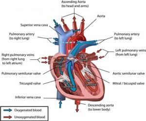 cuore prevenzione cardiovascolare cuore e donna aterosclerosi miocardite