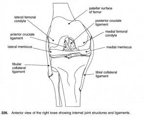 legamenti del ginocchio legamento crociato