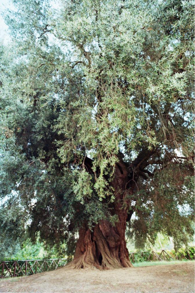 olivone di canneto sabino