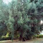 Olivone Canneto Sabino 2