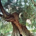 Olivone Canneto Sabino 3