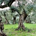 olivi secolari olivi monumentali sabina