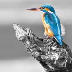 Martin-pescatore