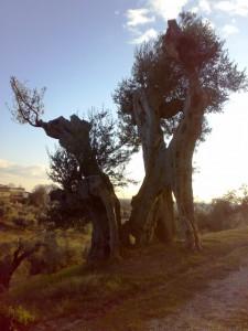 olivi sacri sabina