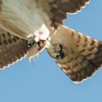 Cave Monterotondo Scalo - Falco Pescatore 2