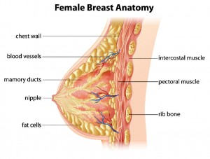 mammella seno anatomia